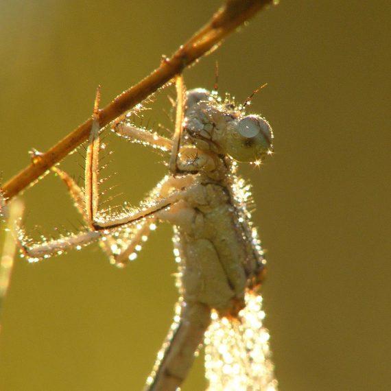 Agrion à larges pattes (Platycnemis pennipes)