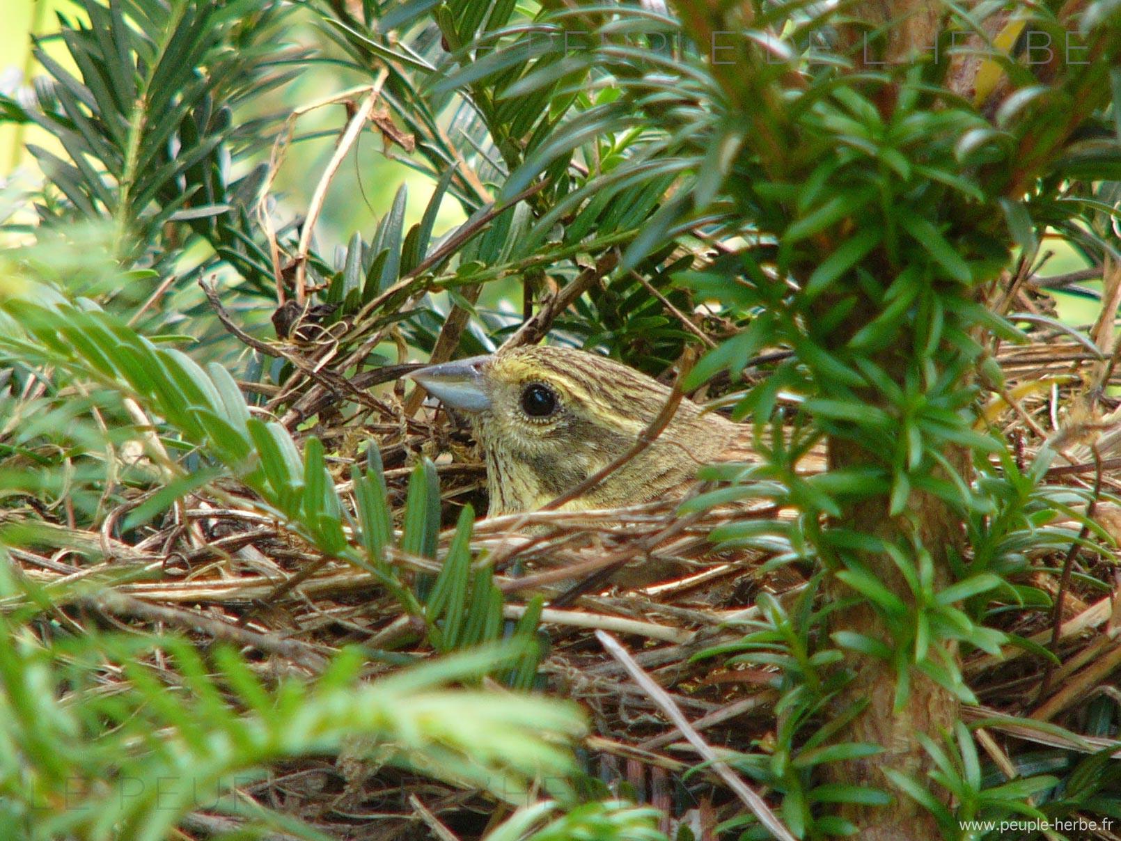 Bruant jaune dans son nid (Emberiza citrinella)
