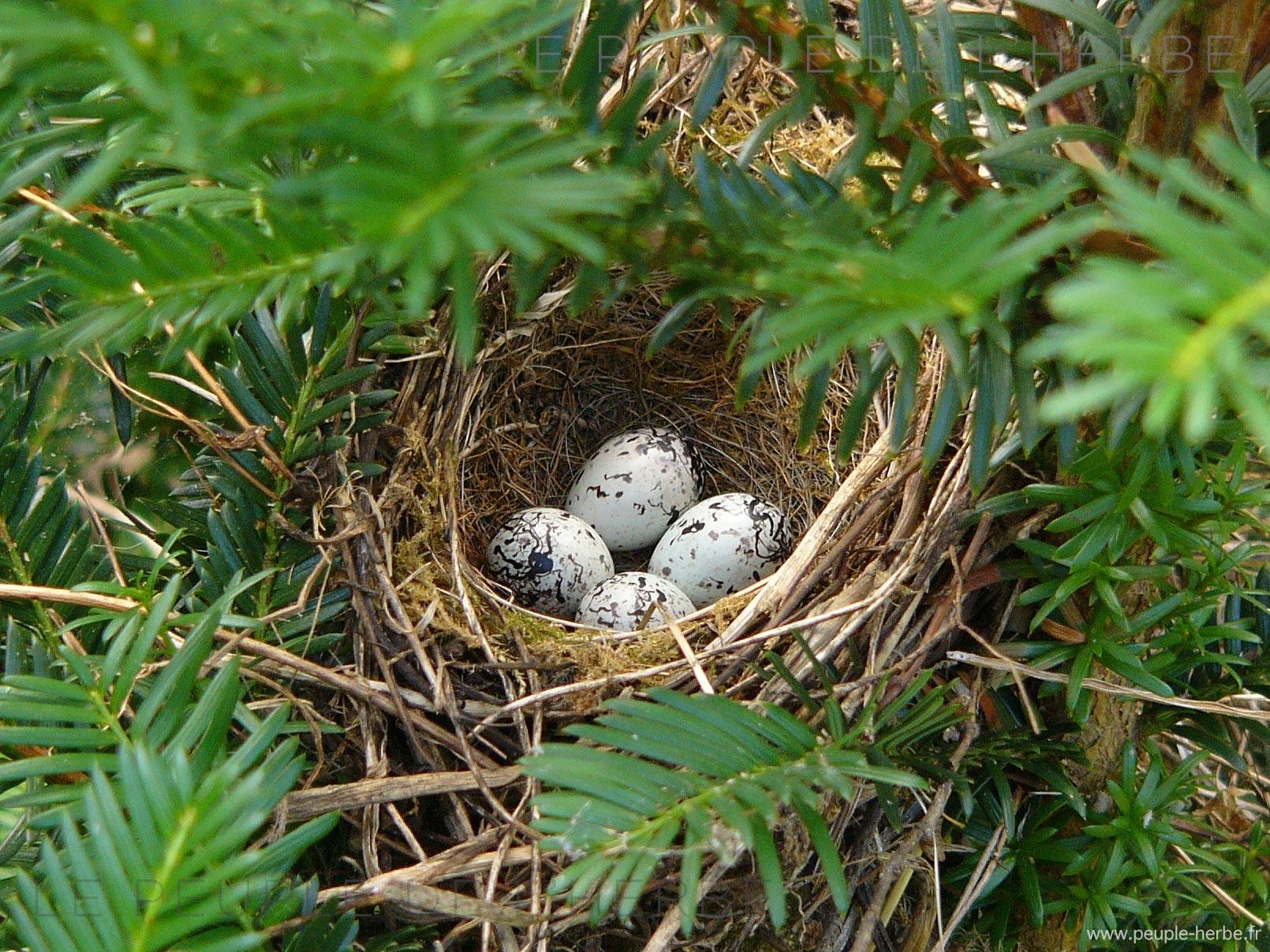 4 œufs d'oiseau dans un nid