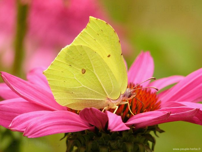 Papillon le Citron (Gonepteryx rhamni)