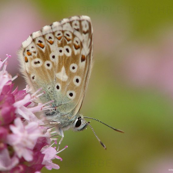 L'Argus bleu (Polyommatus icarus)