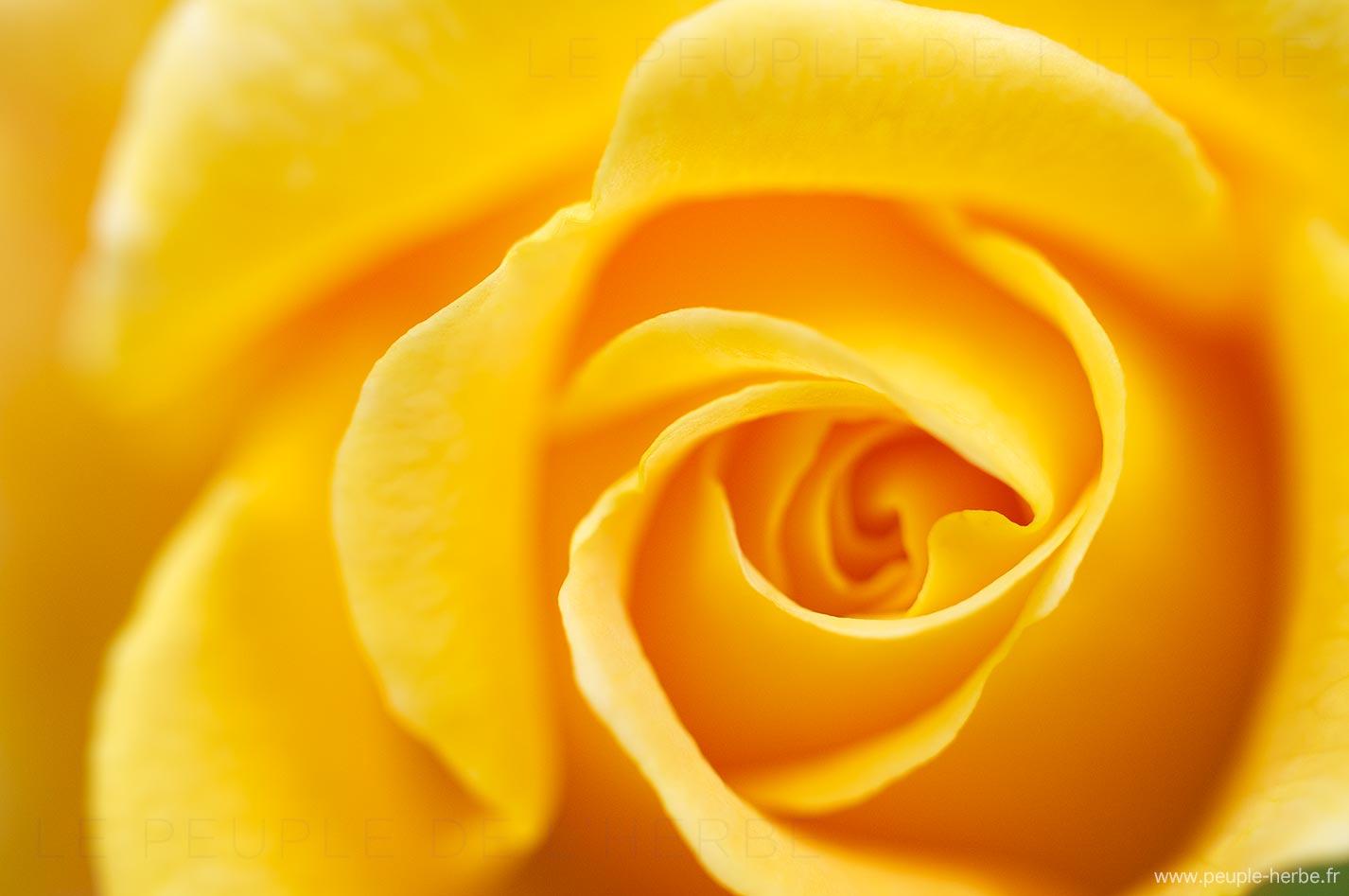 Rose jaune (Rosa)