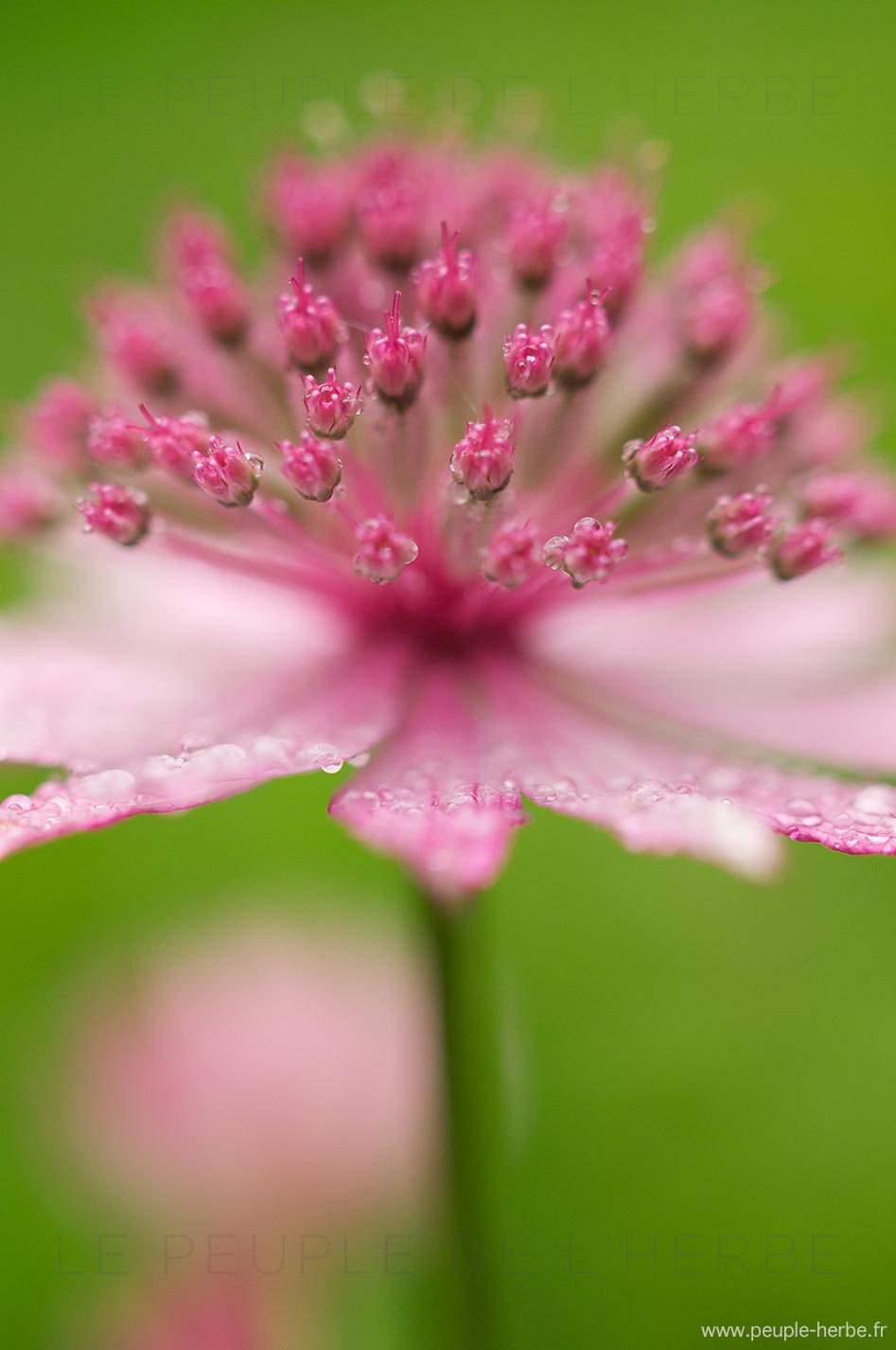 Grande astrance (Astrantia major sp.)