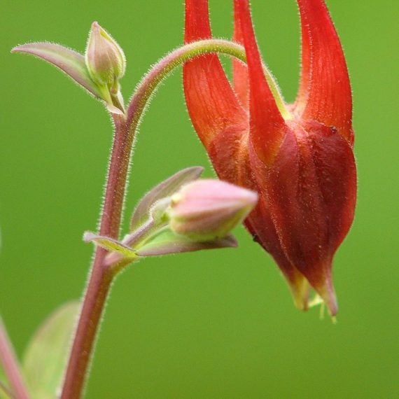 Aquilegia formosa - Ancolie rouge