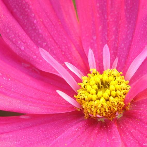 Fleur de cosmos en macro