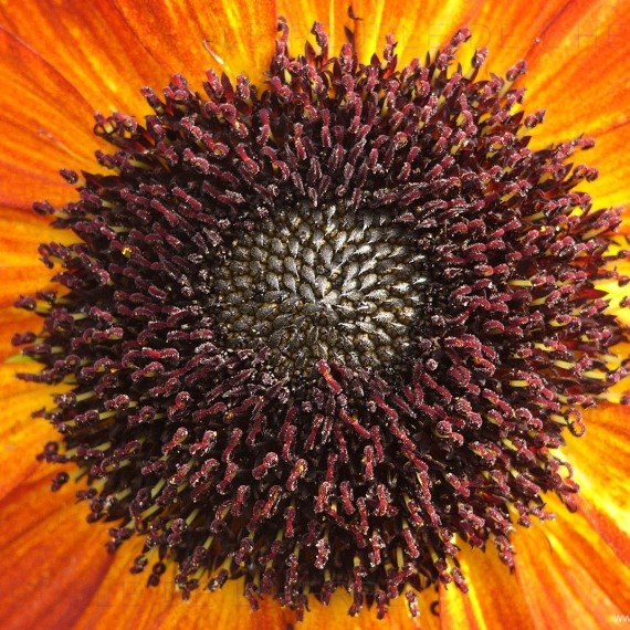 Cœur de fleur de tournesol