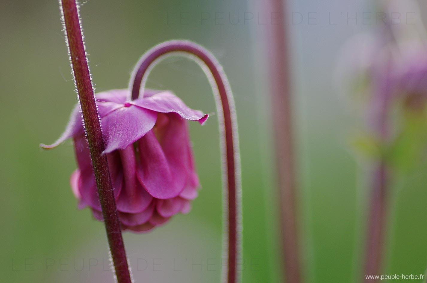 Fleur ancolie double