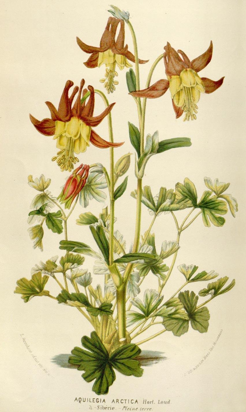 Planche botanique Aquilegia arctica