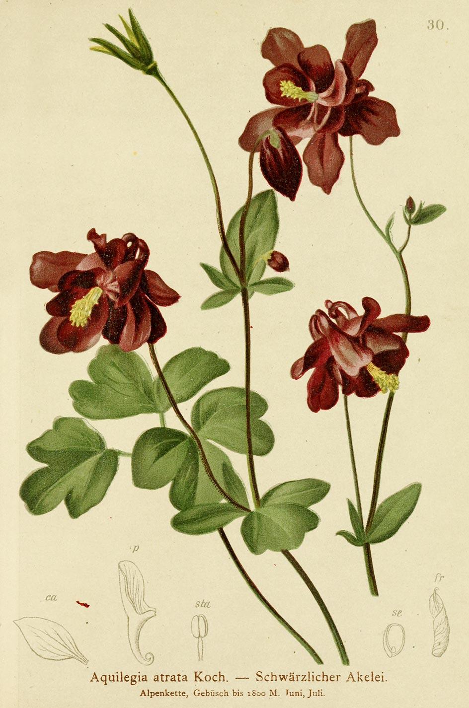 Planche botanique Aquilegia atrata