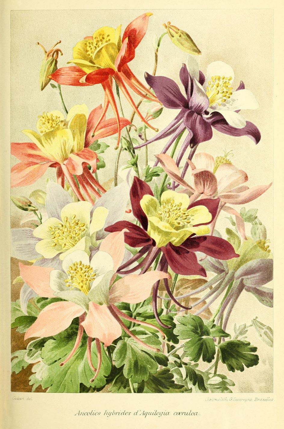 Planche botanique Aquilegia caerulea (hybrides)