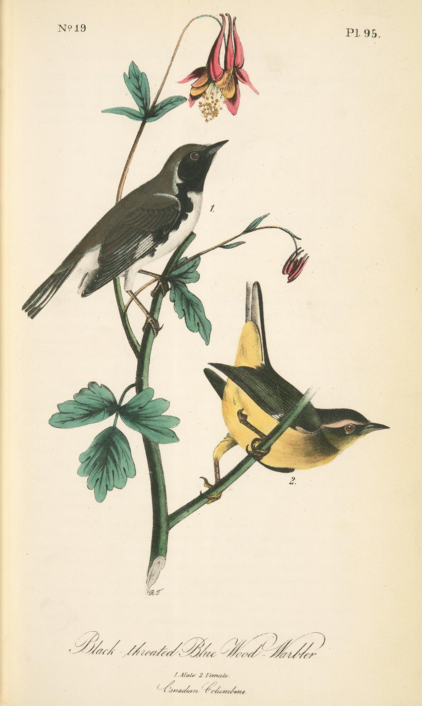 Planche botanique Aquilegia canadensis