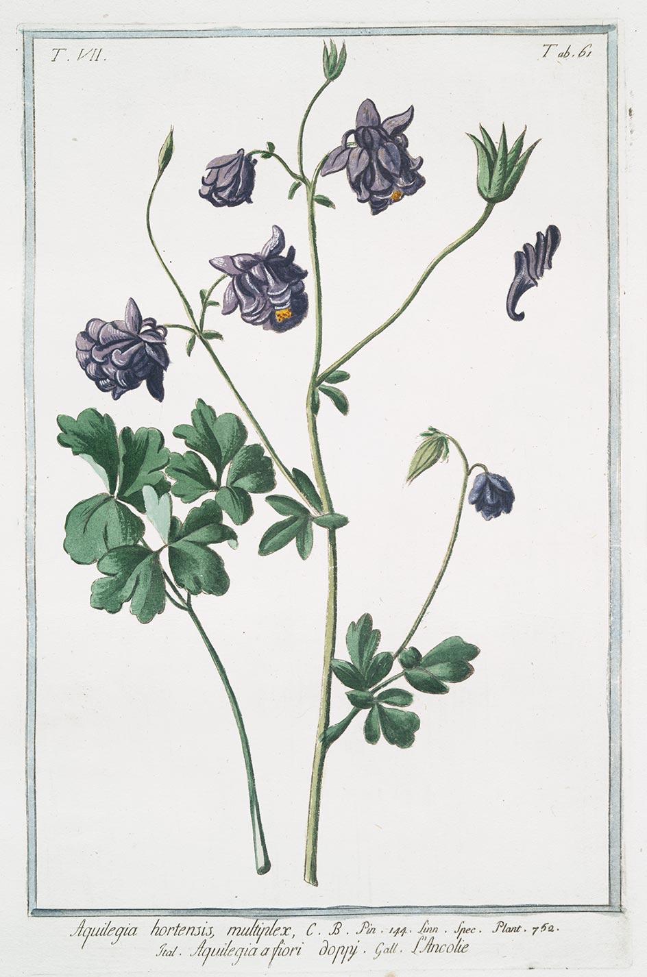 Planche botanique Aquilegia hortensis