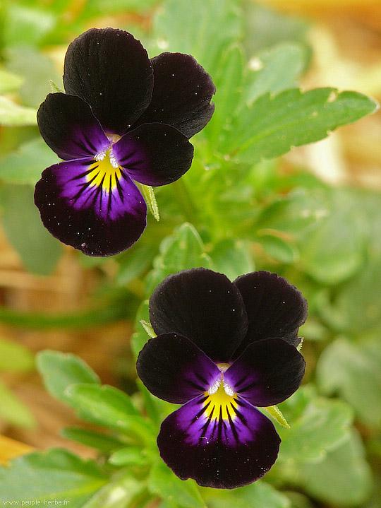 Connu Macrophotographie fleur : Pensée 'Bowles Black' (Viola tricolor  UL27