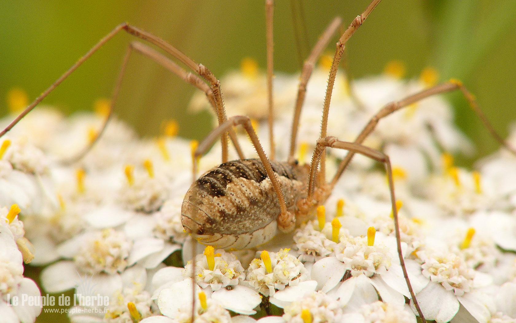 Faucheux Araignée fonds d'écran araignées 1680x1050 : faucheux
