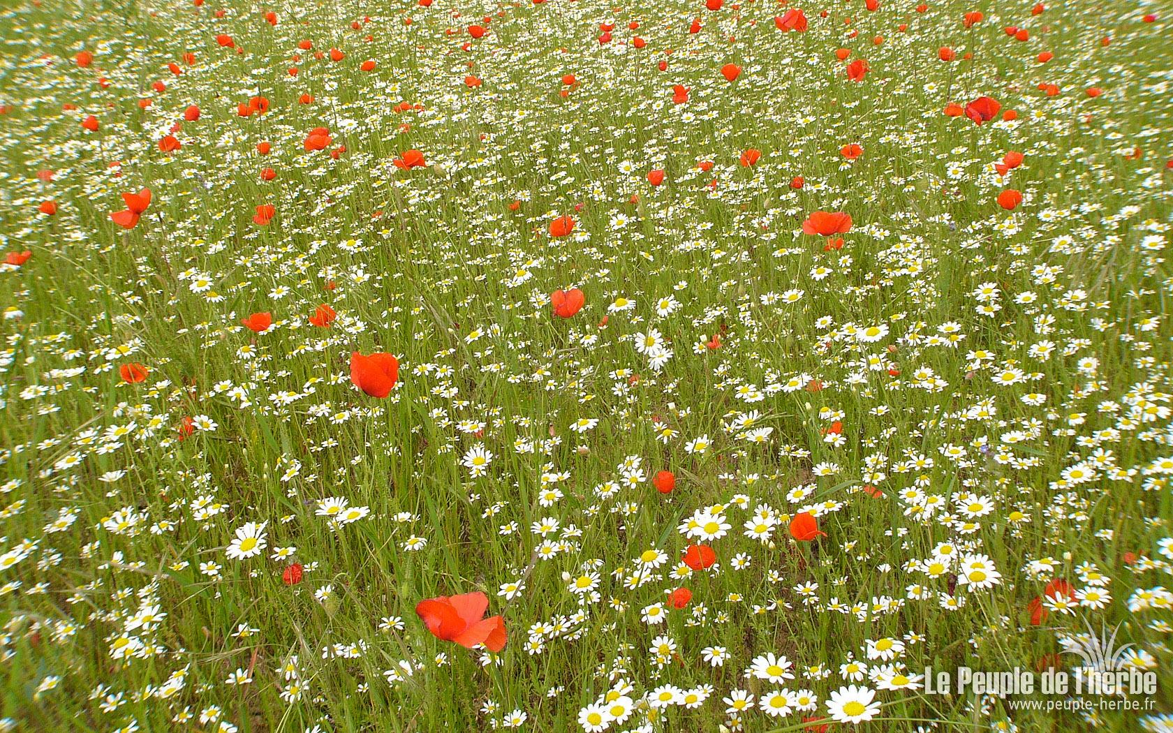 Fonds d écran 1680x1050 écrans wallpaper haute résolution fleurs