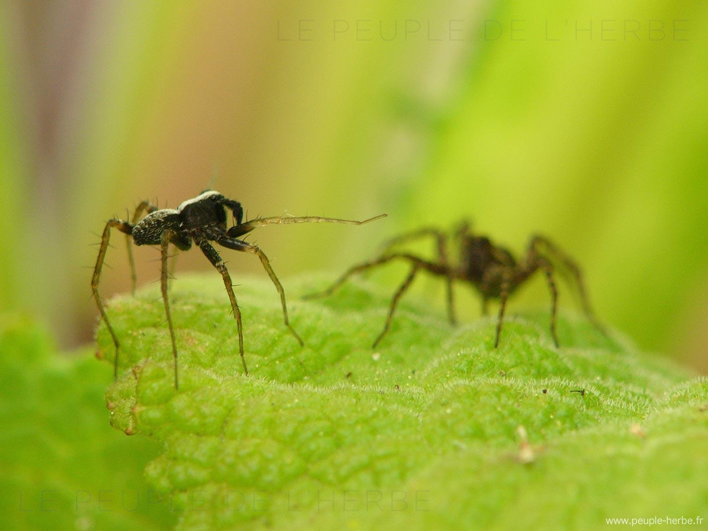 Araignées en macro