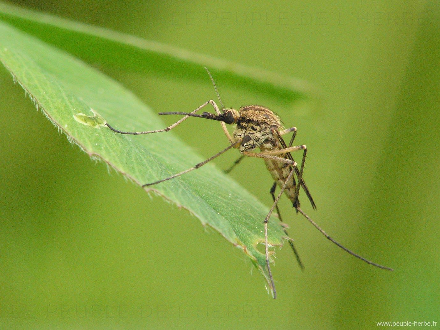 Moustique en macro