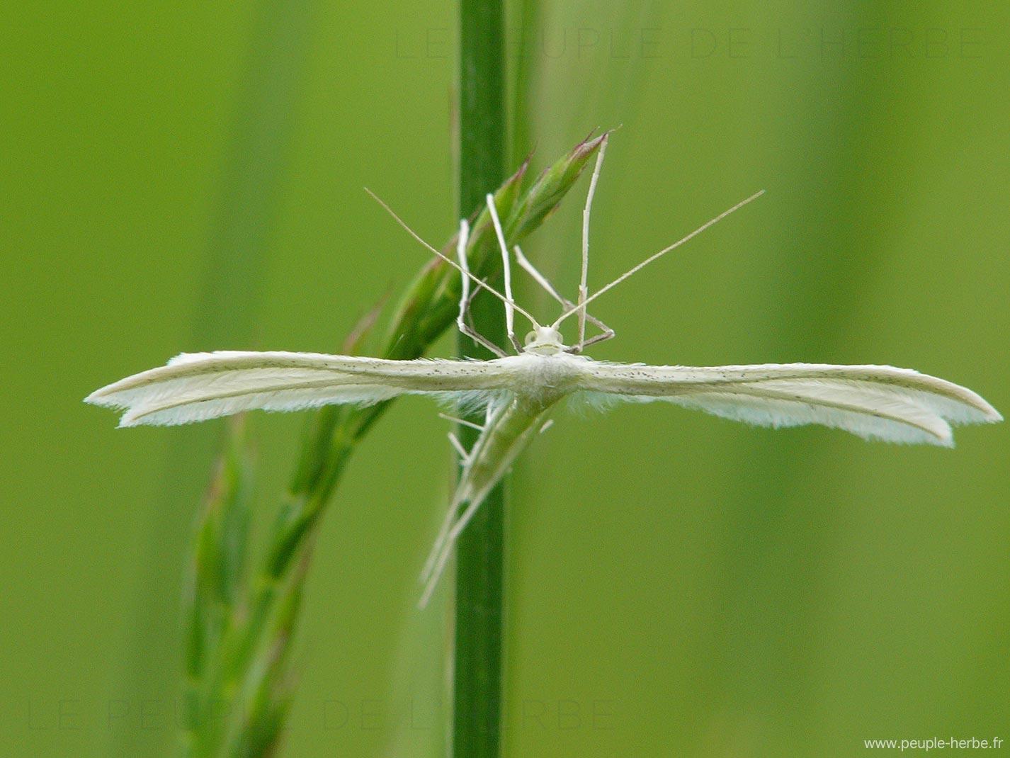 Le Ptérophore blanc