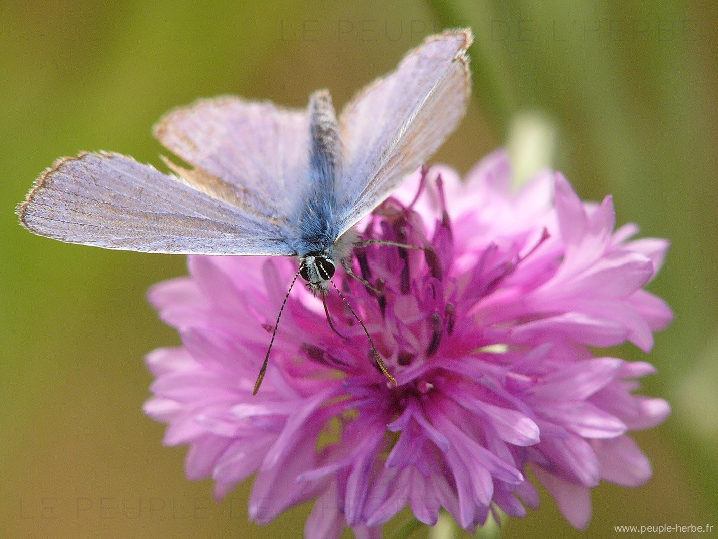 L'Argus bleu mâle (Polyommatus icarus)