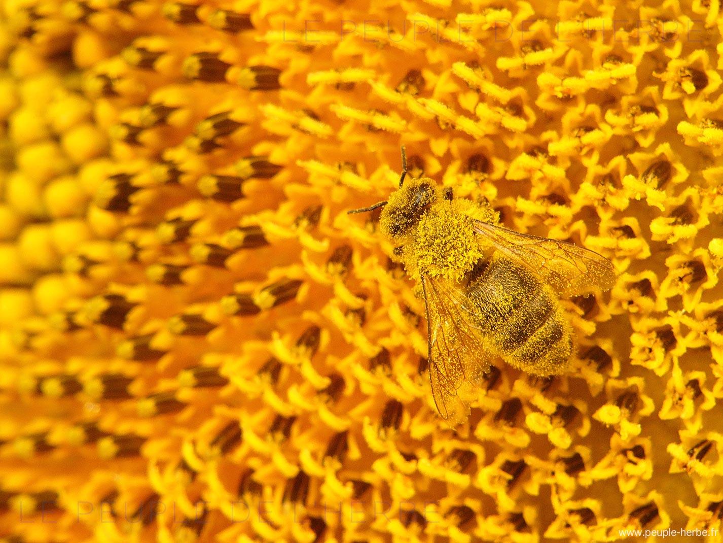 Abeille domestique recouverte de pollen