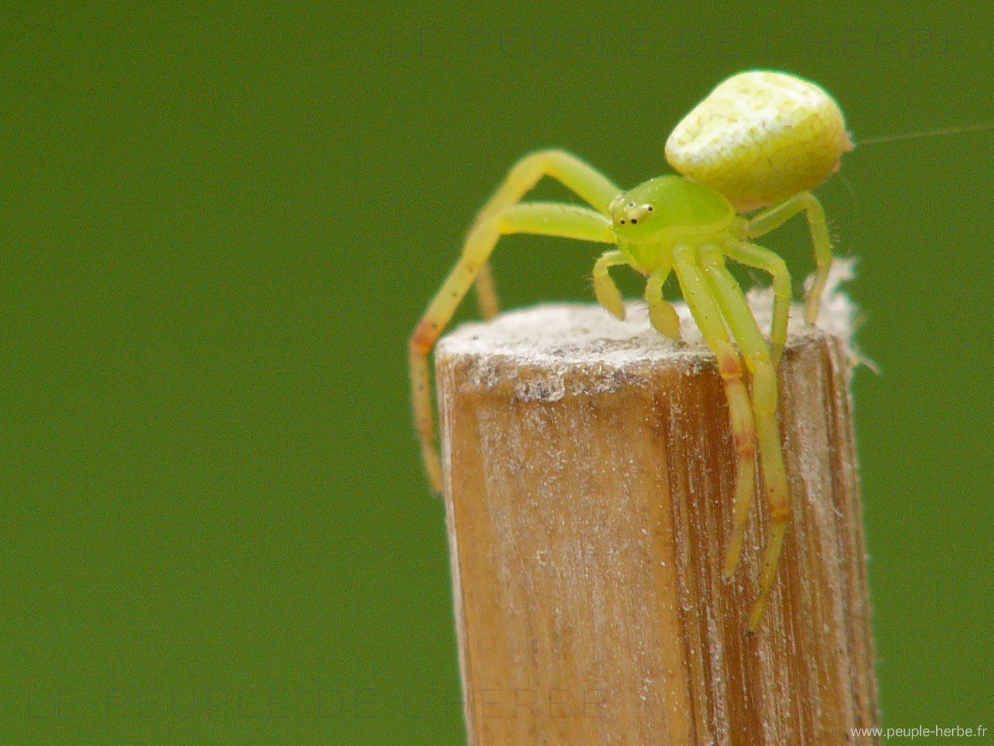 Araignée crabe femelle (Misumena vatia)