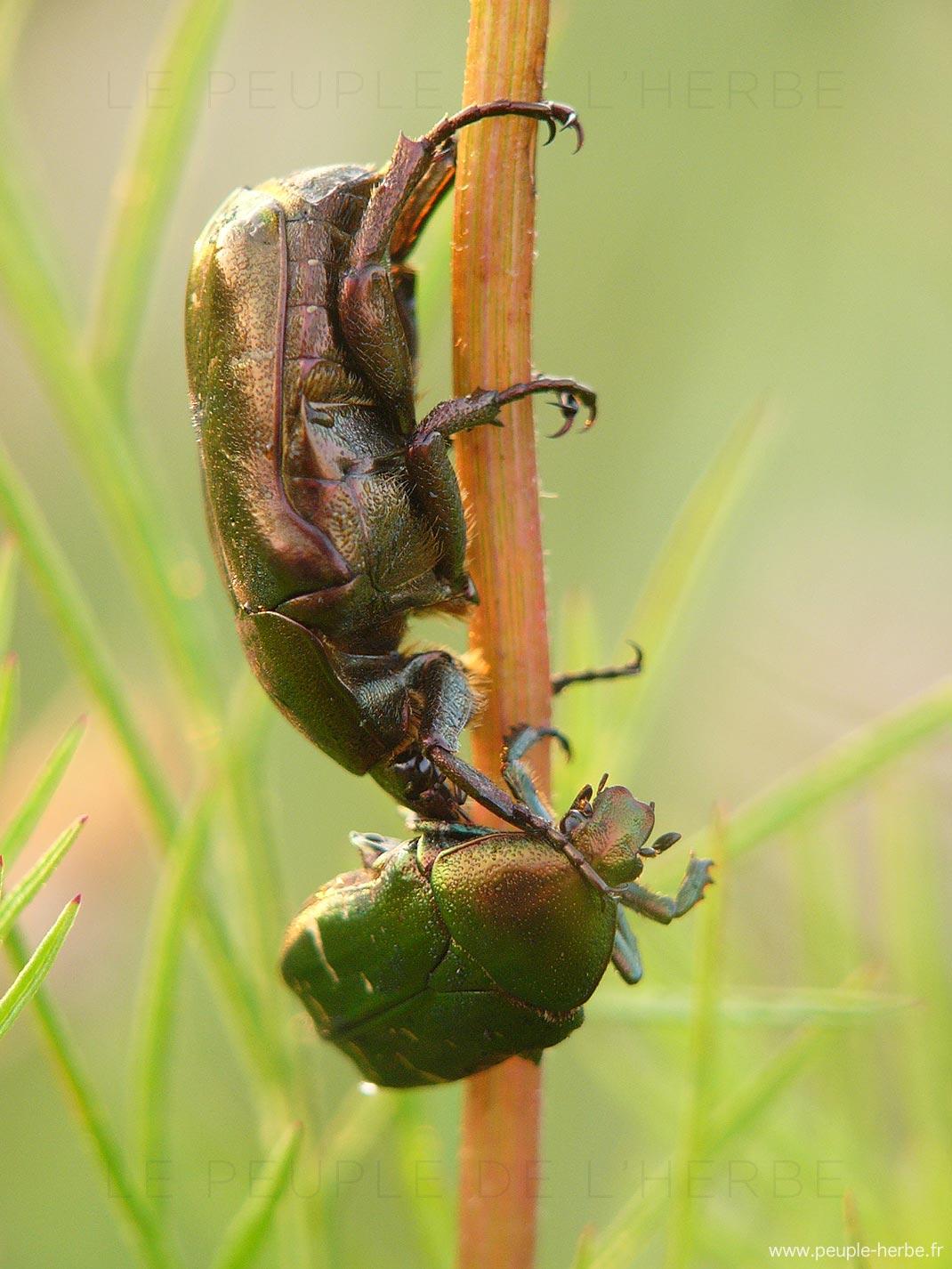 Cétoine dorée (Cetonia aurata)