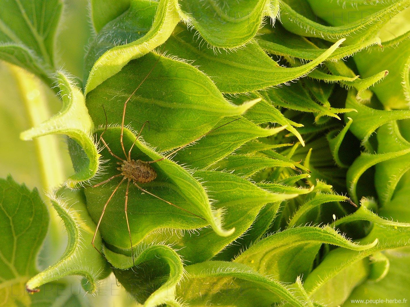 Faucheux (Phalangium opilio)