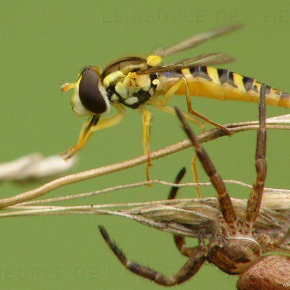 Syrphe échappant à une araignée