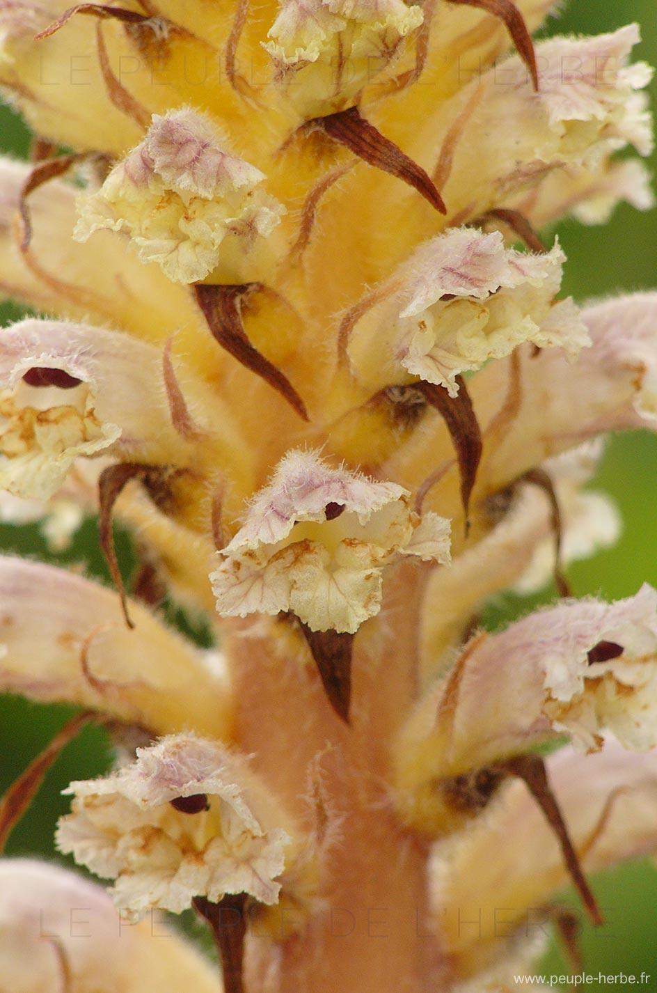 Fleur d'orobanche