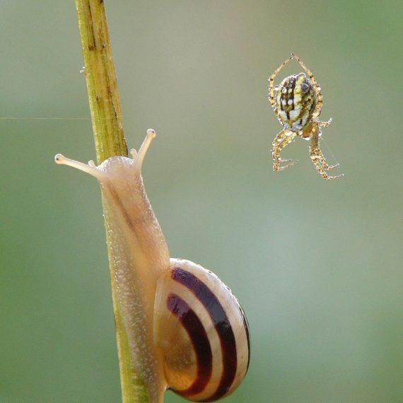 Escargot des jardins avec une araignée