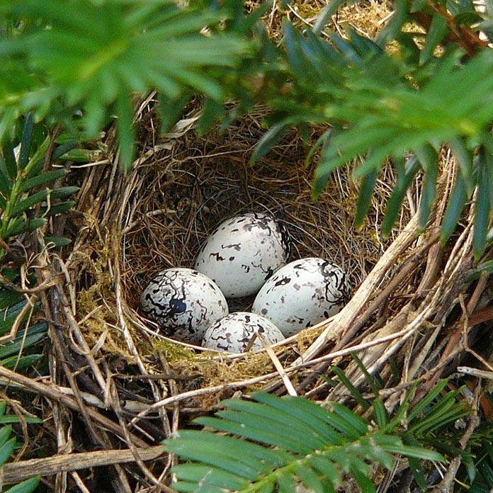 4 œufs de Bruant jaune dans un nid