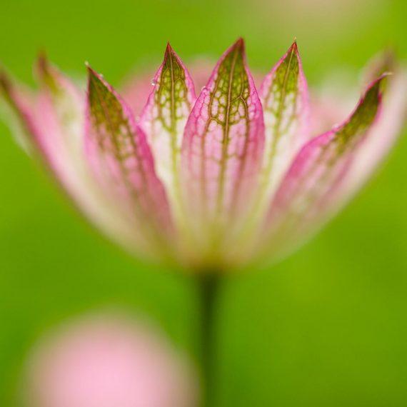 Grande astrance (Astrantia major sp.)
