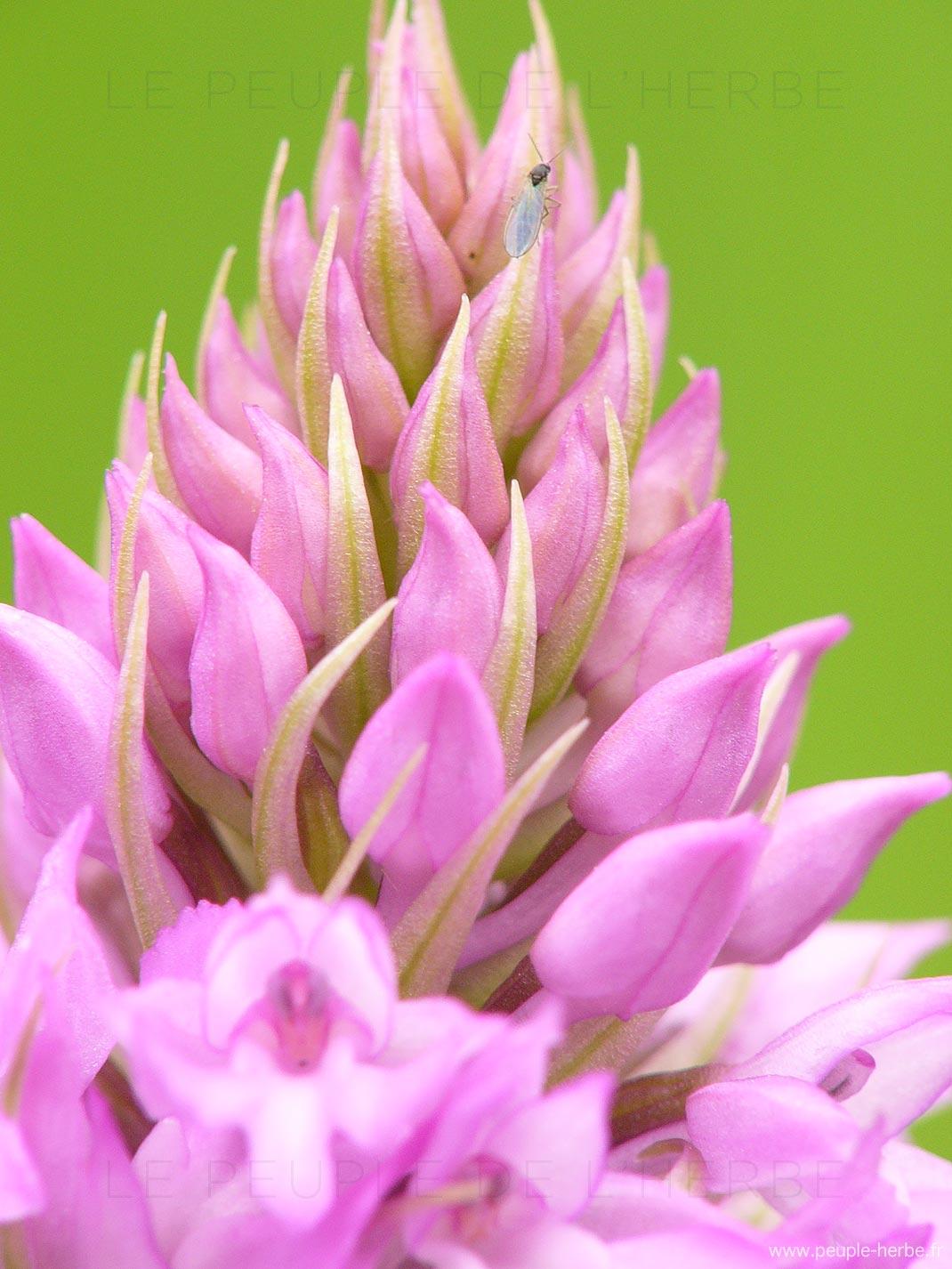 Orchis pyramidal en macro