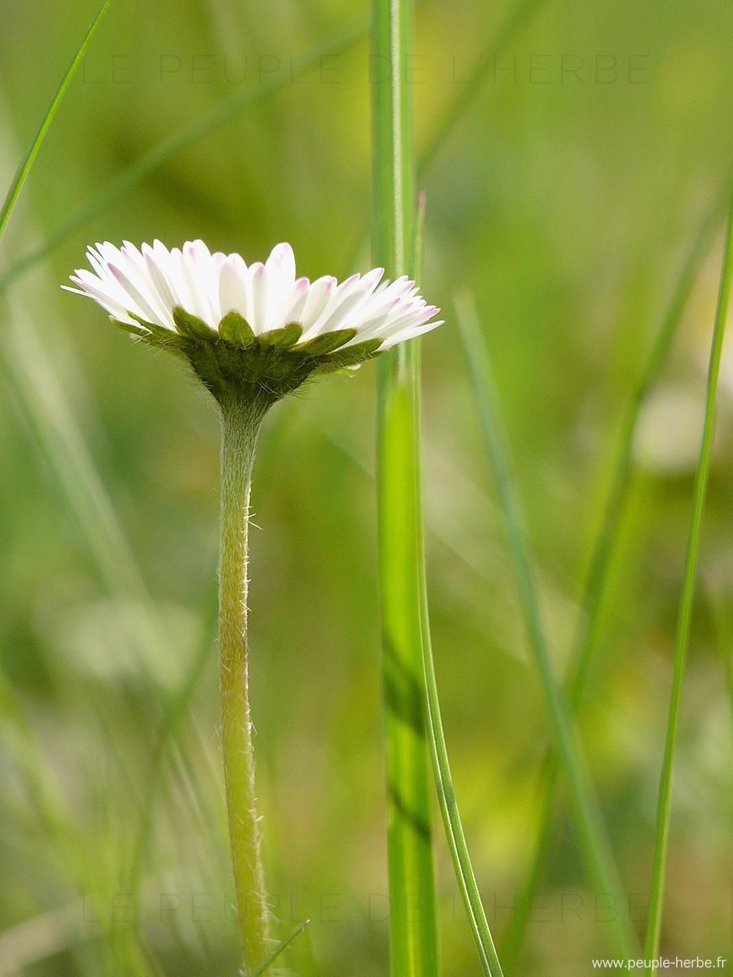 Pâquerette dans l'herbe