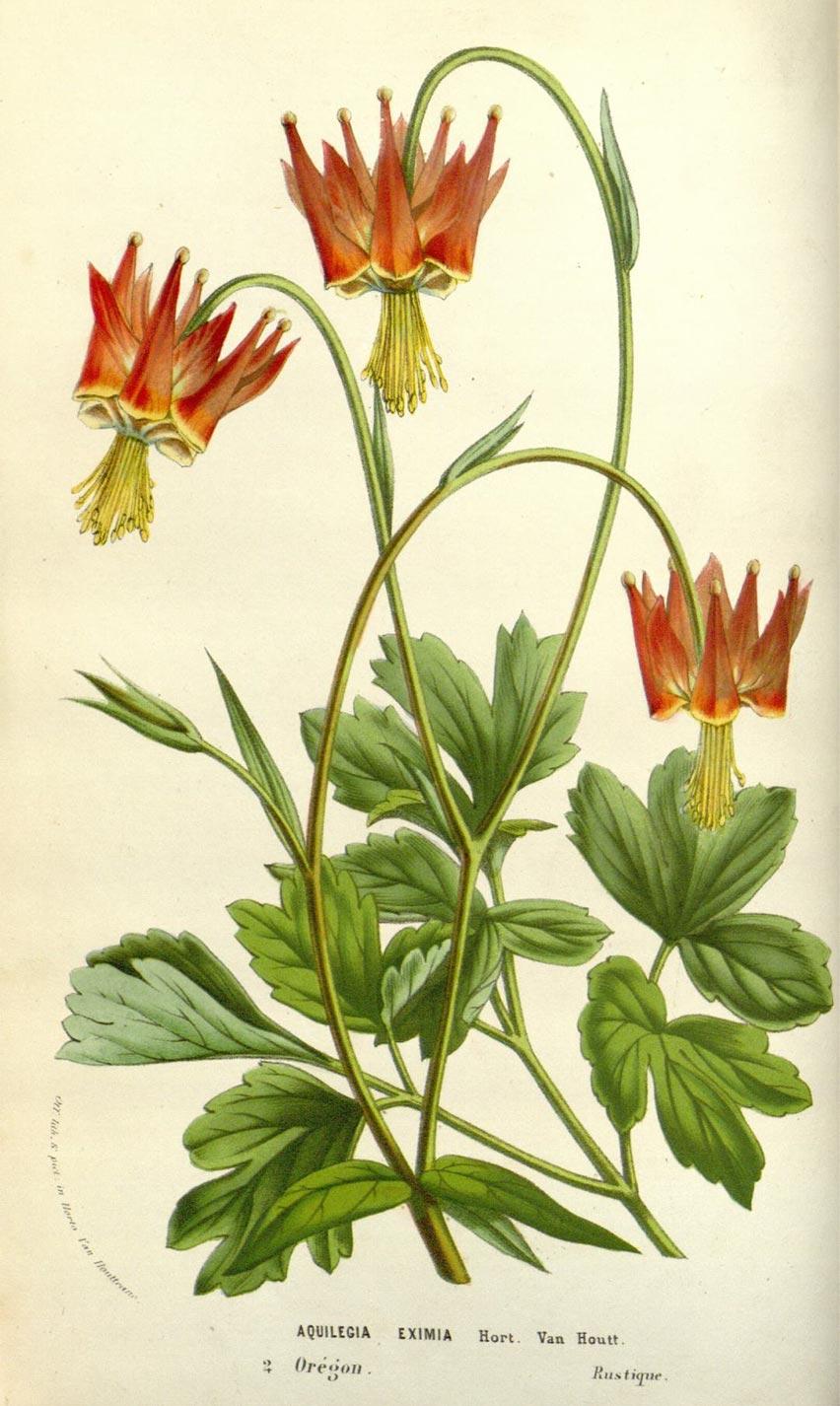 Planche botanique Aquilegia eximia
