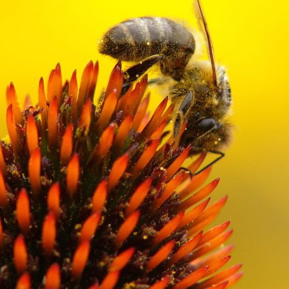 Abeille domestique sur echinacée (Apis mellifera)