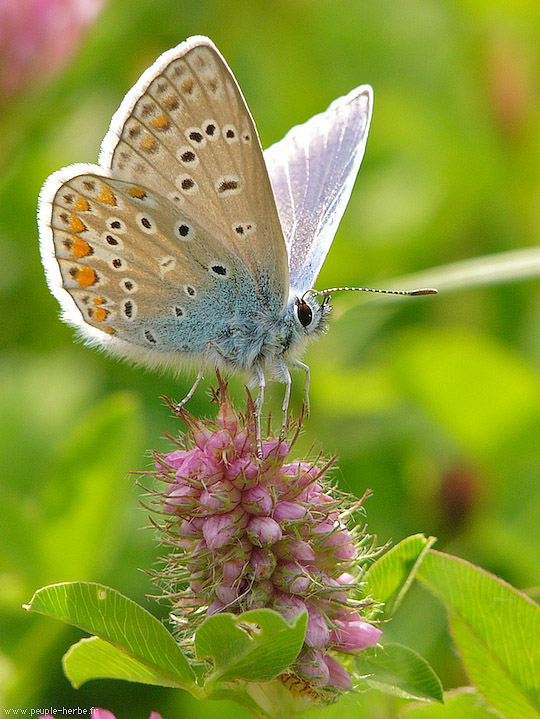 Macrophotographie papillon : L'Argus bleu (Polyommatus ...